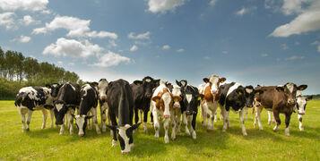cows_105291524