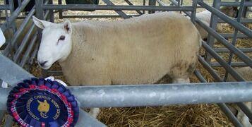 sheep-2406046_1920