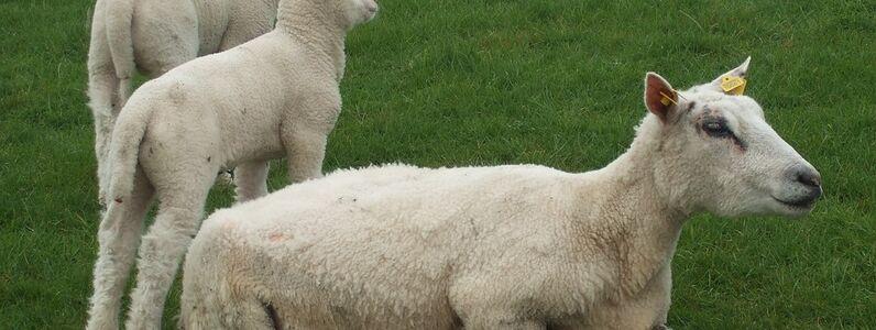 sheep-1164178_960_720